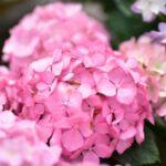 季節の花「アジサイ」について